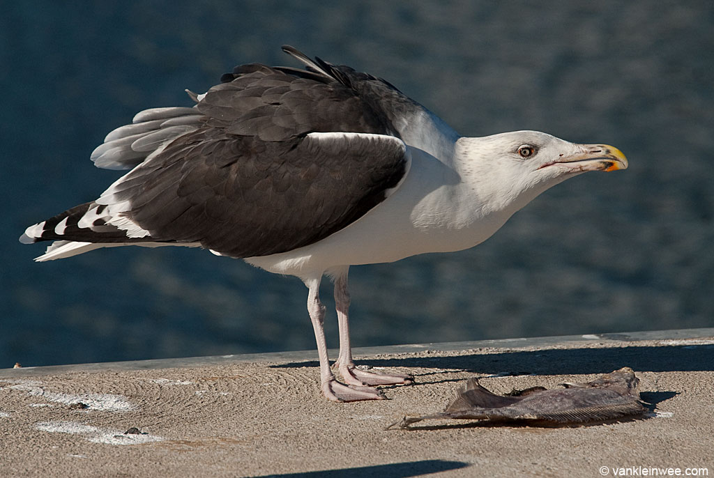 Sub-adult Great Black-backed Gull adopting the forward posture