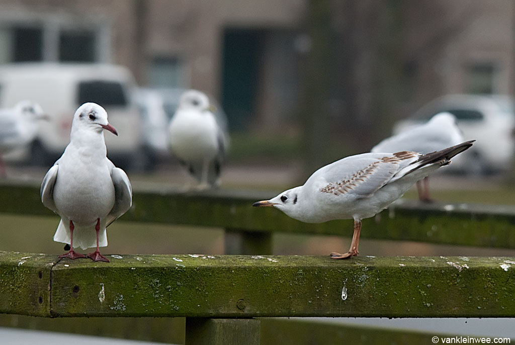Black-headed Gull in forward posture with Black-headed Gull in oblique posture