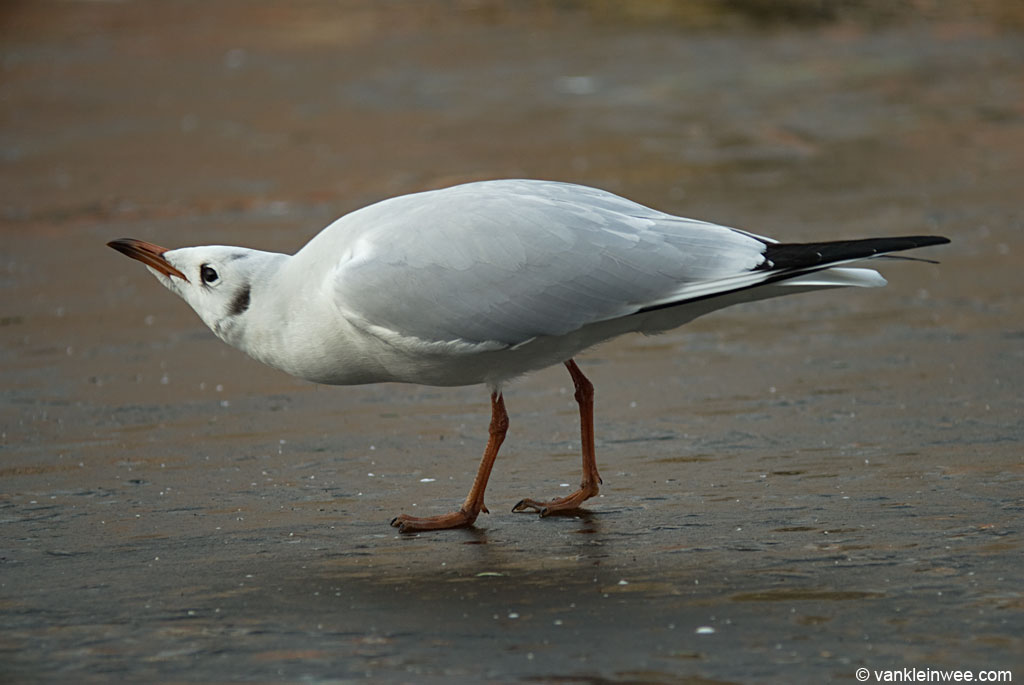 Black-headed Gull, forward position with the bill pointed up