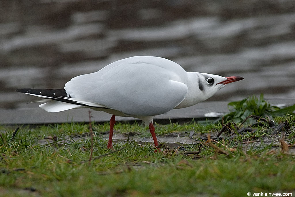 An adult Black-headed Gull in winter (basic) plumage displaying the forward ...