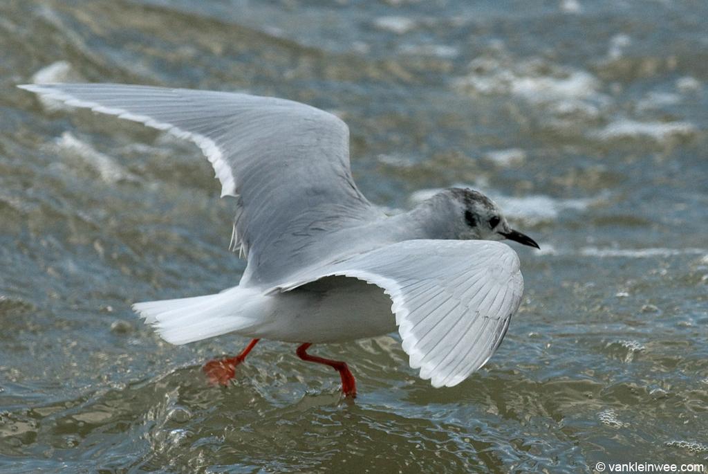 Adult Little Gull, 'walking' on the water. Katwijk aan Zee, The Netherlands, 9 December 2011