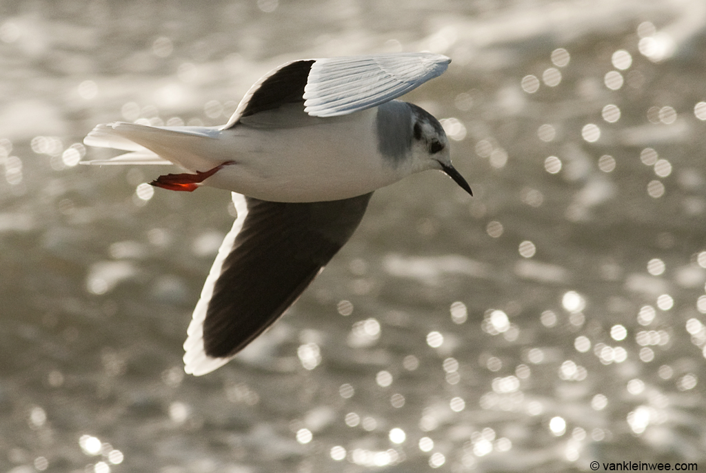 Adult Little Gull,  Katwijk aan Zee, The Netherlands, 9 December 2011.