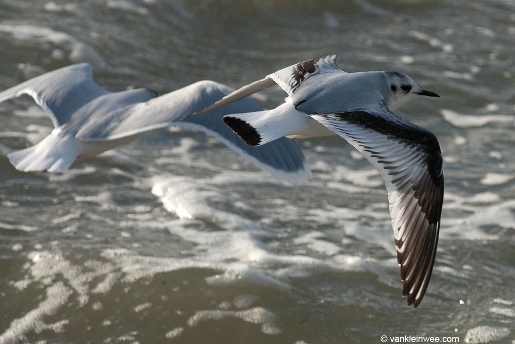 First-calendar Little Gull, with adult Little Gull, Katwijk aan Zee, The Netherlands, 9 December 2011.
