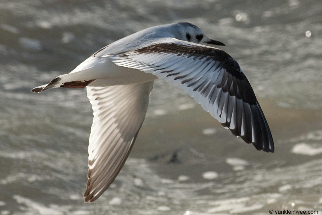 First-calendar Little Gull,  Katwijk aan Zee, The Netherlands, 9 December 2011.