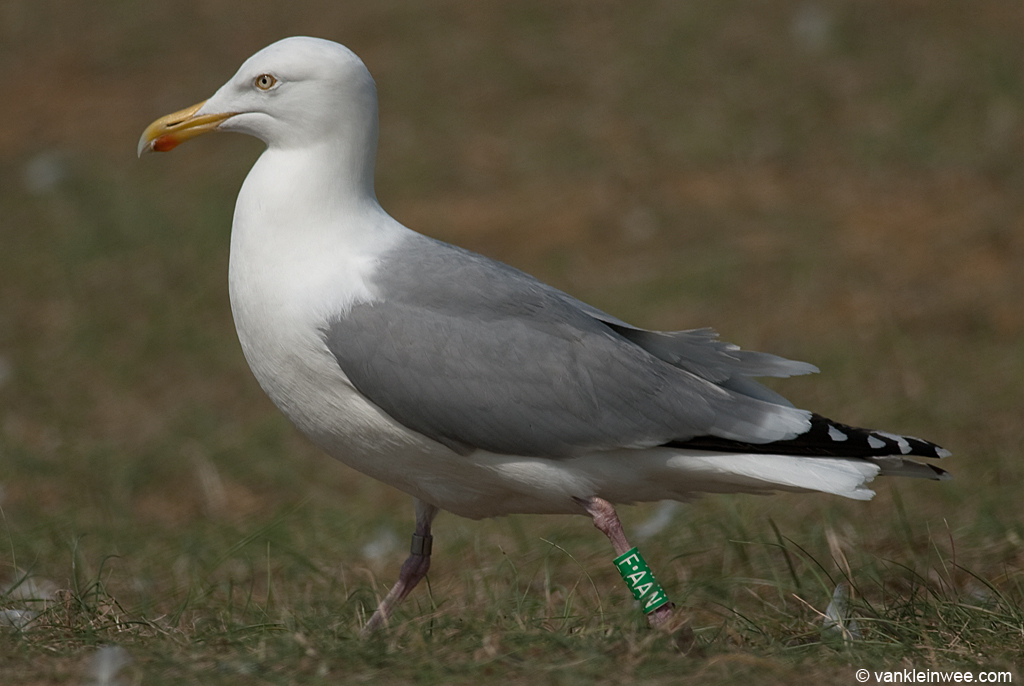 Presumed hybrid Lesser Black-backed Gull x European ...