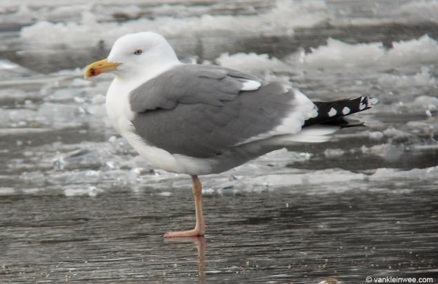 Image result for lesser black backed gull winter