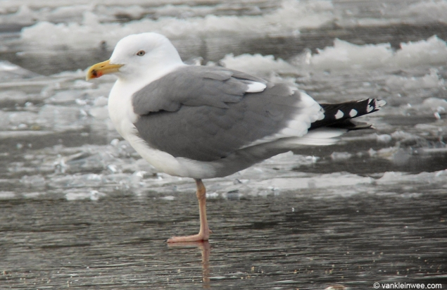 Image result for lesser black backed gull winter