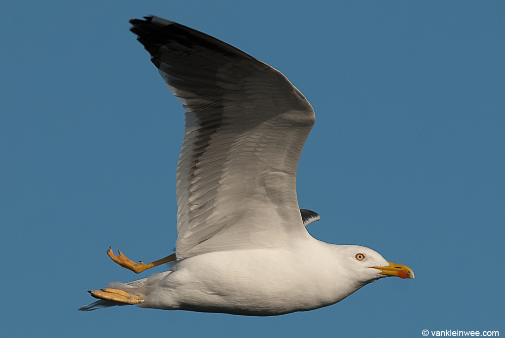 Lesser Black-backed Gull with a broken leg