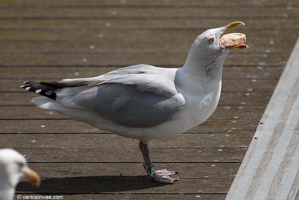 European Herring Gull 'ZDGA'