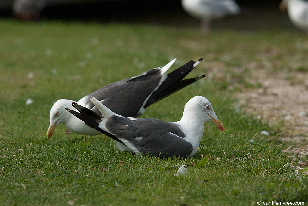 Adult Lesser Black-backed Gull Yellow H.501 choking. Leiden, The Netherlands, 21 August 2012.
