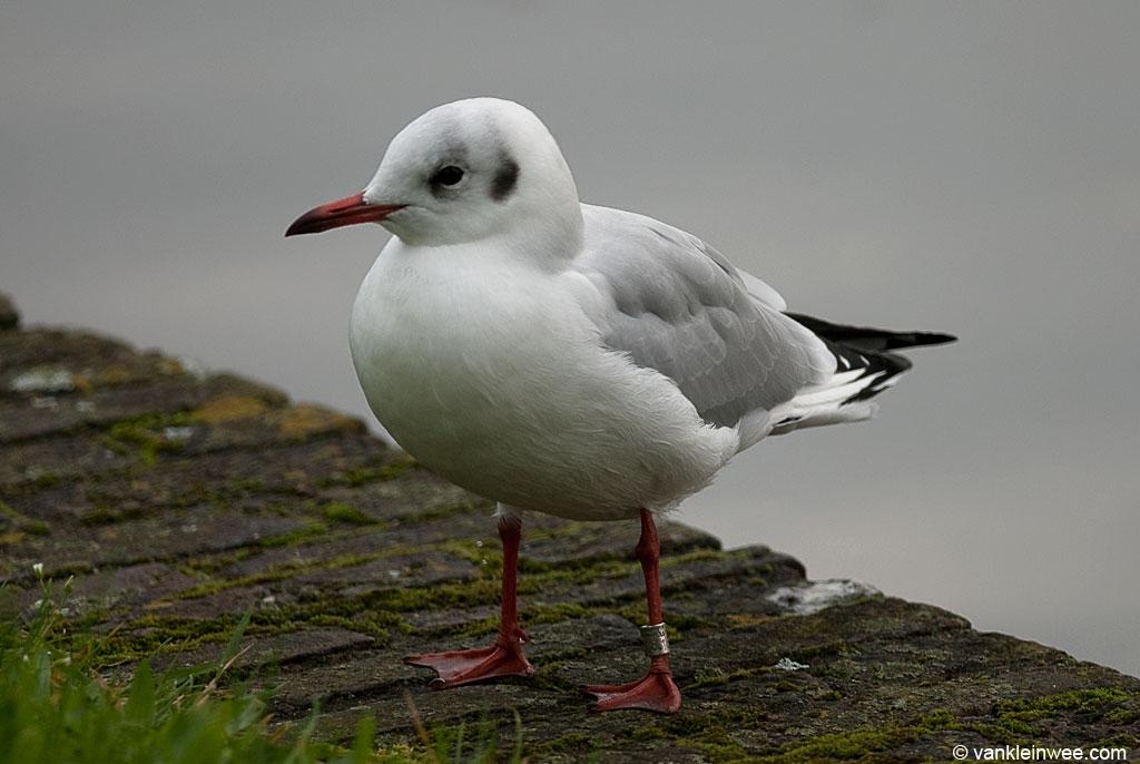 Black-headed Gull Arnhem 3618180