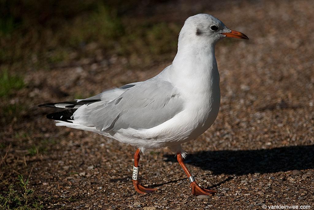 Black-headed Gull White E0TY