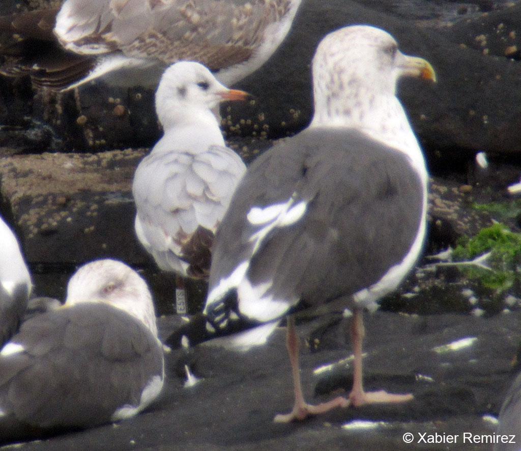 First-calendar year Black-headed Gull (Chroicocephalus ridibundus) on the isle of Gran Canaria, Spain. 6 December 2012.