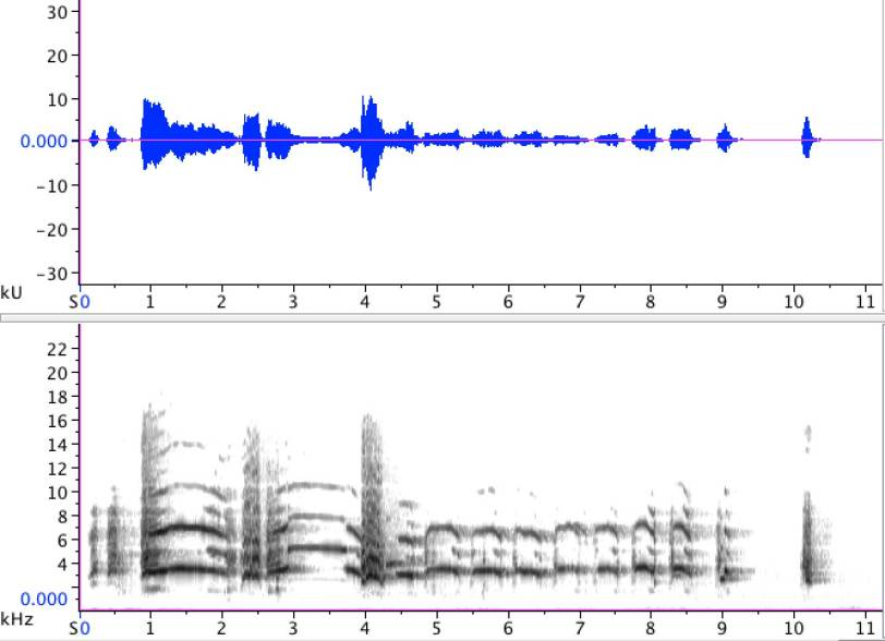 Sonogram of adult Common Gull, performing a long-call.