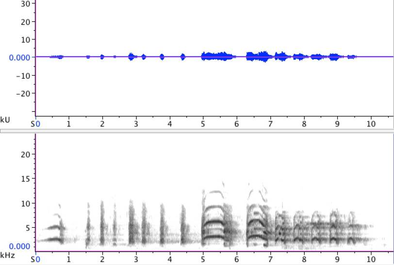 Sonogram of adult Common Gull (Larus canus), performing a long-call. 27 December 2012, Leiden, The Netherlands.