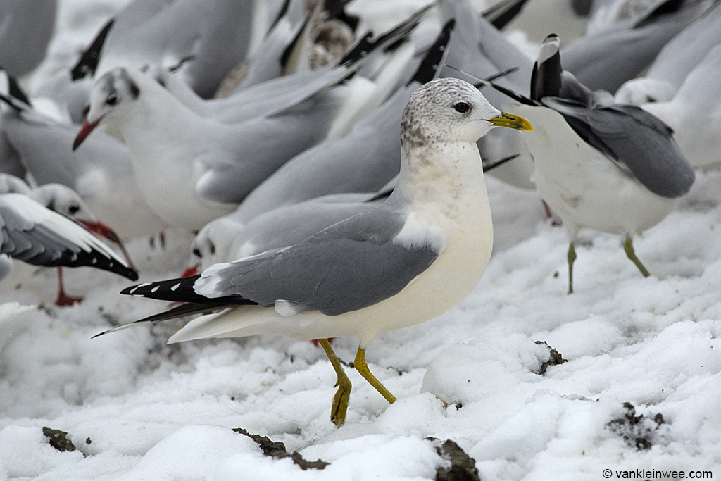 Adult Common Gull with yellow-tinged underparts. Leiden, The Netherlands, 7 December 2012.