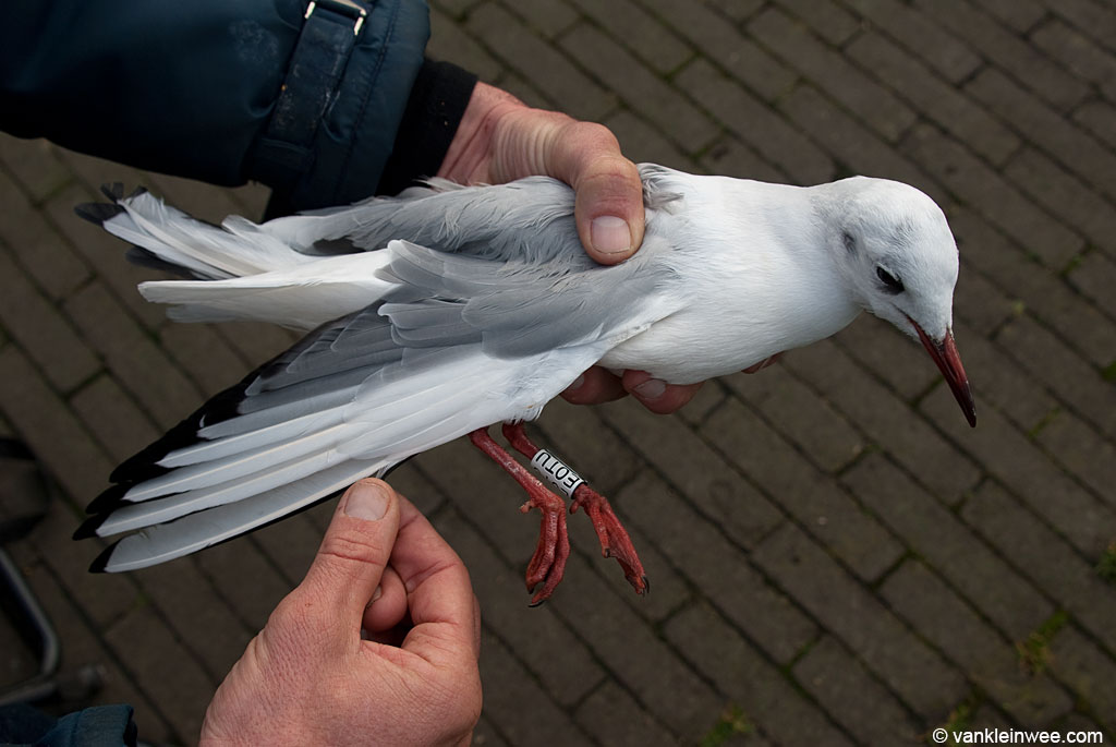 White E0TU, re-ringed as a 24th-calendar year individual (originally ringed as a nestling in