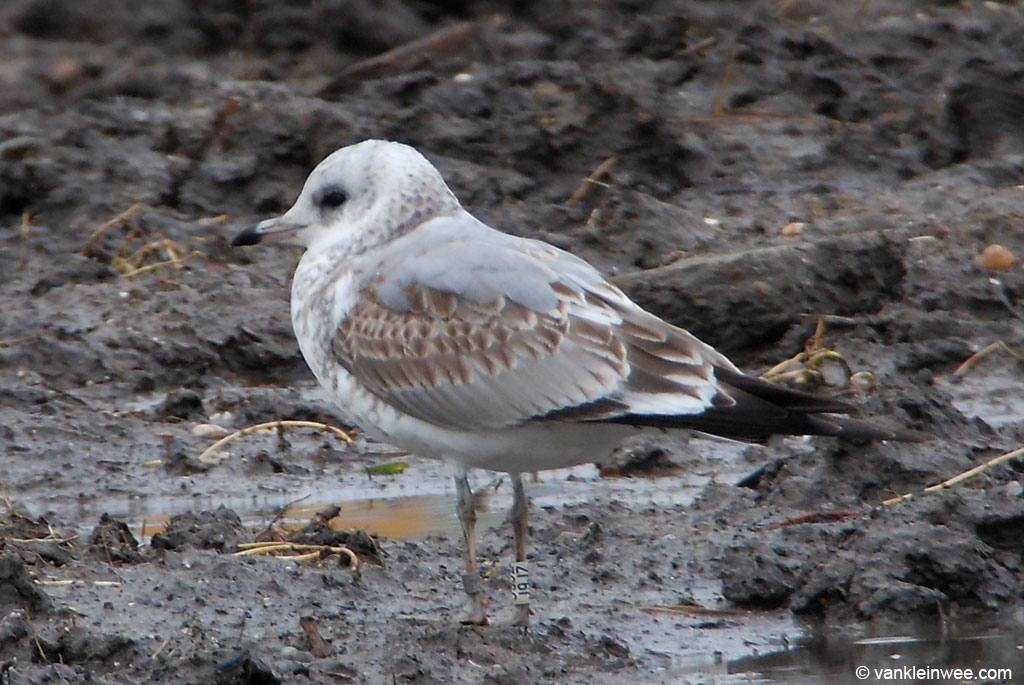 First-calendar year Common Gull with white ring J9JZ. Leiden, 27 December 2012.