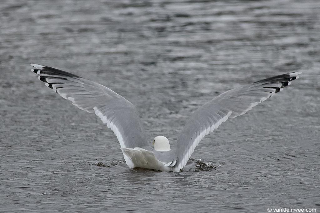 Adult Scandinavian Herring Gull. Leiden, The Netherlands, 19 January 2013.