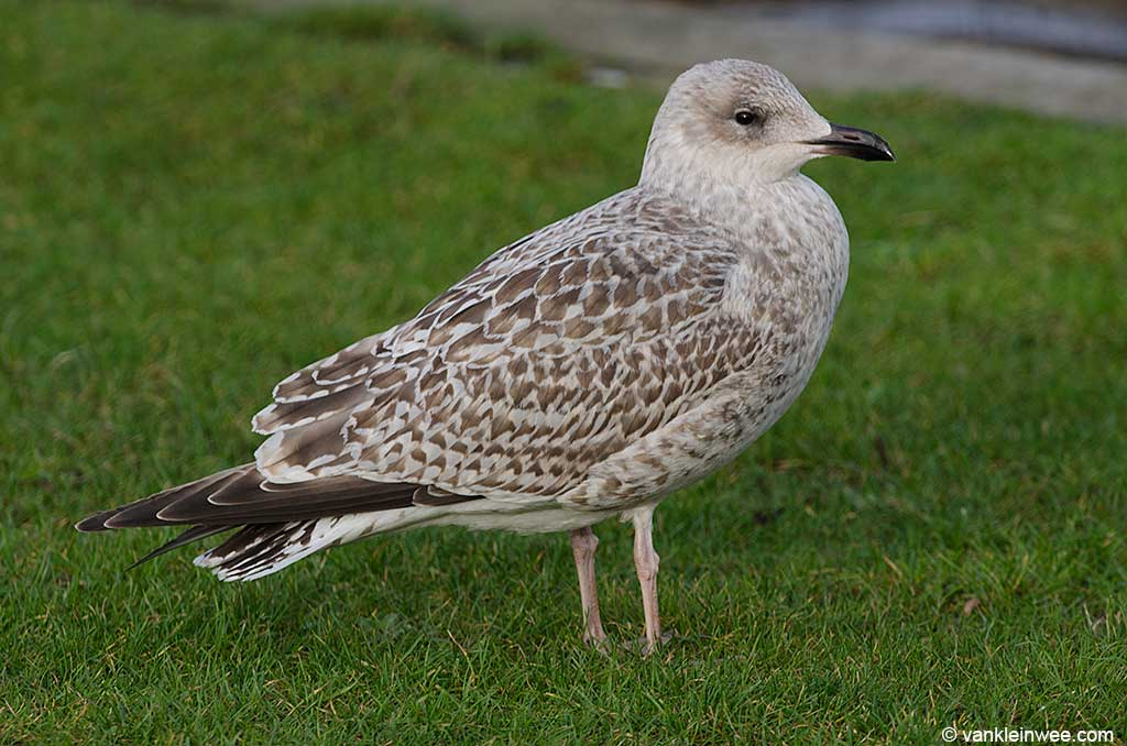 Putative 2nd-calendar year Scandinavian Herring Gull. Leiden, The Netherlands, 12 January 2013.