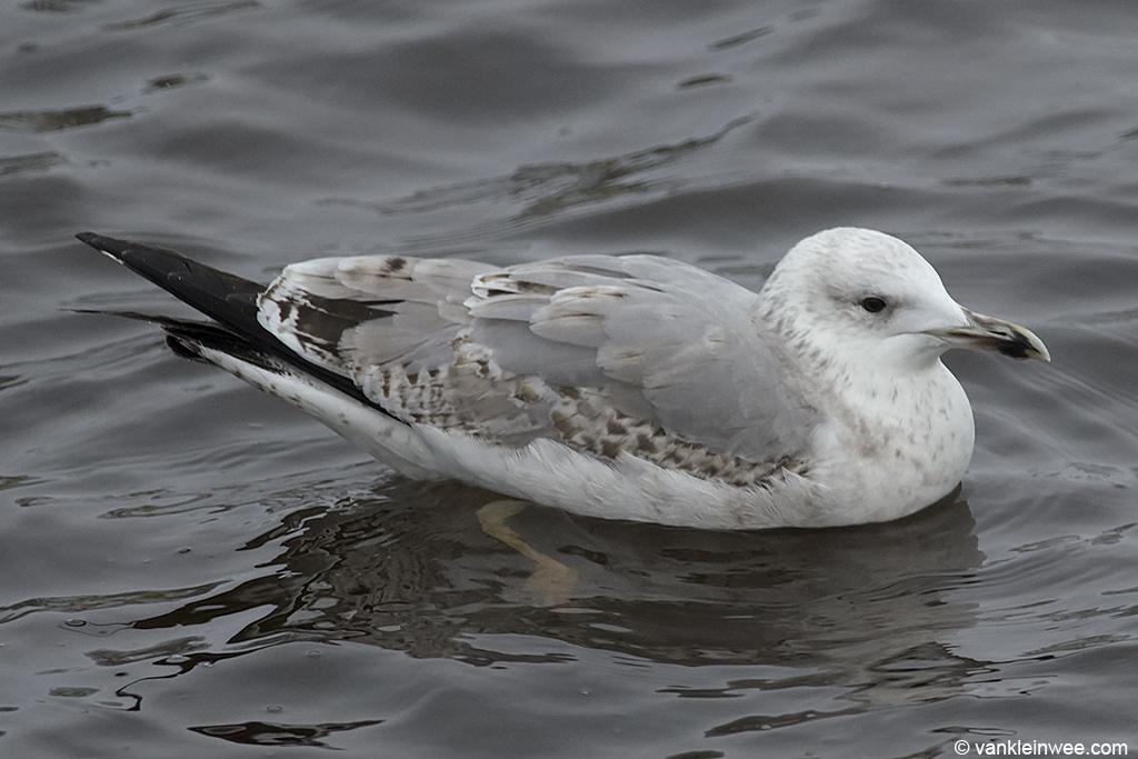 3rd-calendar year Caspian Gull. Leiden, The Netherlands, 19 January 2013.