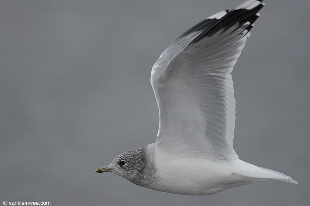 Adult Common Gull with dark head streaking. Leiden, The Netherlands, 19 January 2013.