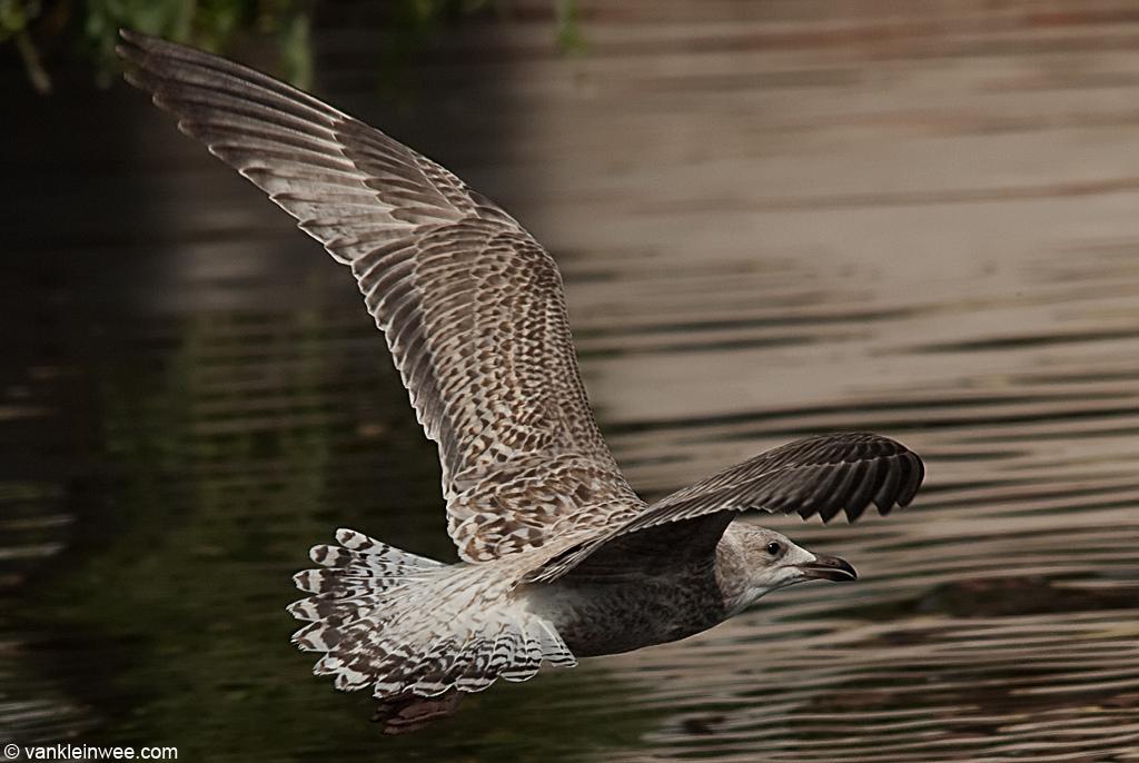 1st-Calendar year European Herring Gull with barred tail pattern. 4 September 2010, Leiden, The Netherlands.