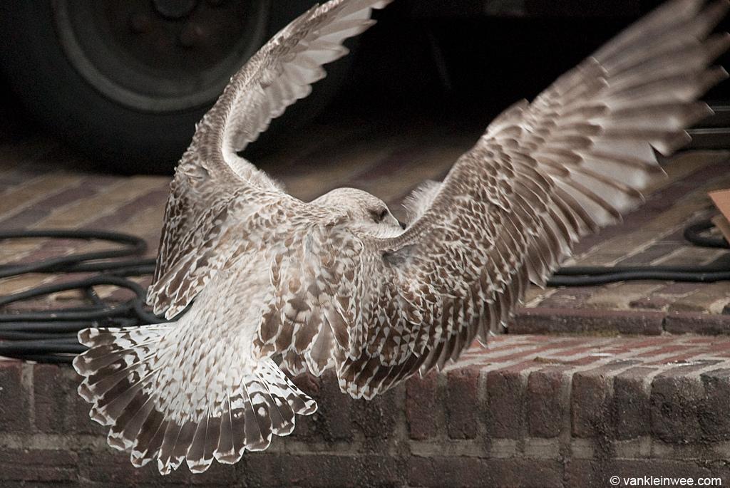 1st-Calendar year European Herring Gull with regular tail pattern. 17 September 2011, Leiden, The Netherlands.