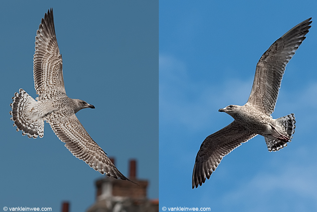 2nd-Calendar year European Herring Gull with barred tail pattern. 10 April 2010, Leiden, The Netherlands.