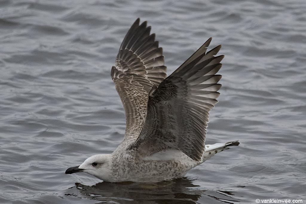 2nd-calendar year Yellow-legged Gull. Leiden, The Netherlands, 19 January 2013.