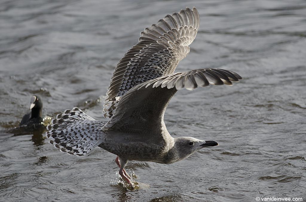 Putative 2nd-calendar year Scandinavian Herring Gull with barred tail pattern. Leiden, The Netherlands, 30 January 2013.