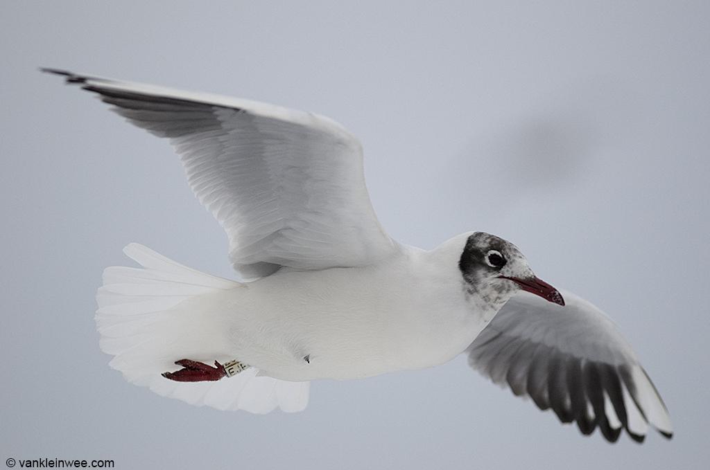 Adult Black-headed Gull. Leiden, The Netherlands, 19 January 2013.