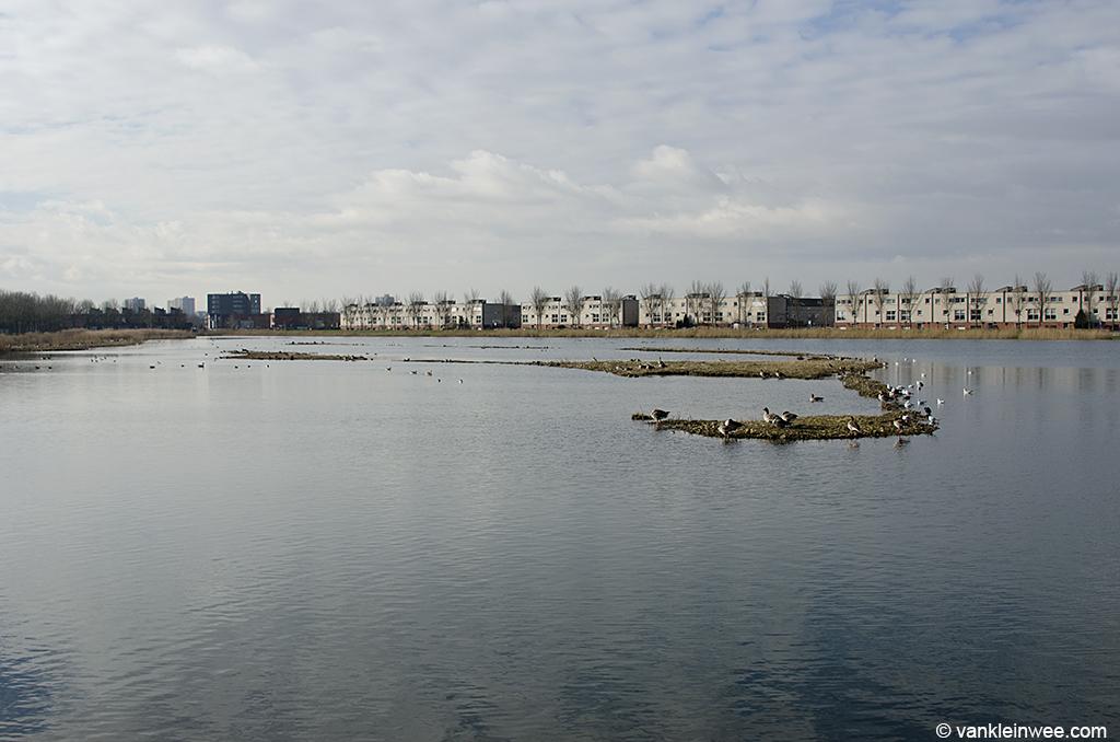 Black-headed Gull colony, Zoetermeer, The Netherlands. 9 February 2013.
