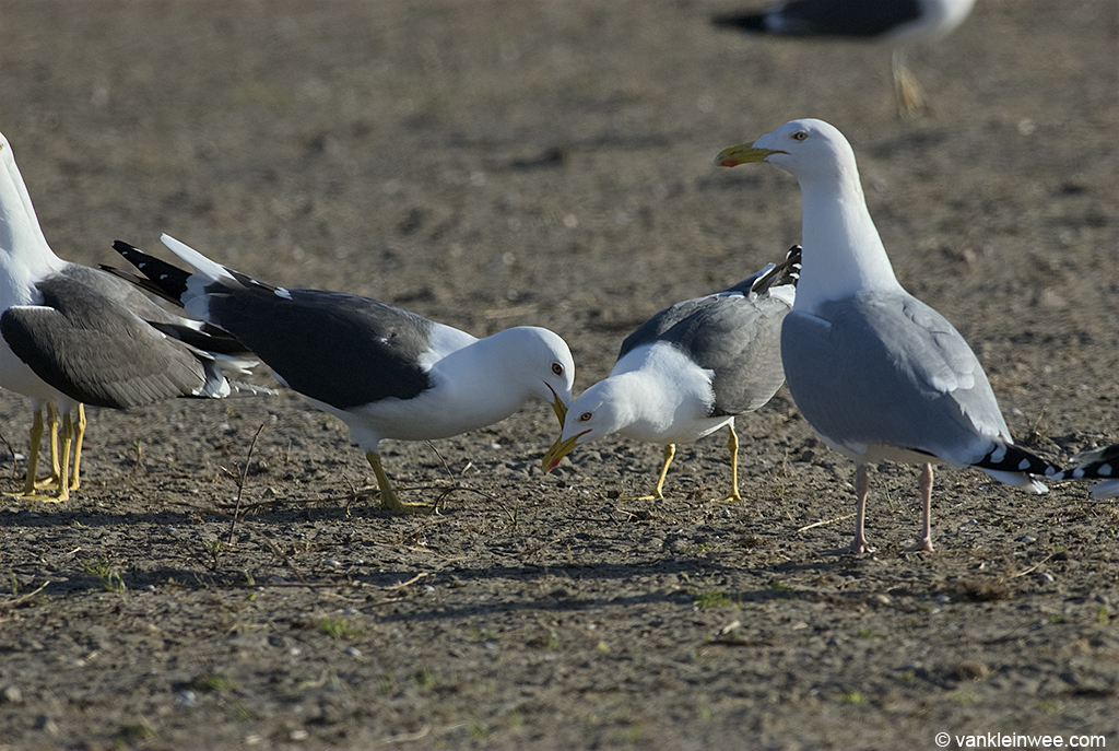 A pair of Lesser Black-backed Gulls choking with other Lesser Black-backed Gulls and European Herring Gull nearby. Europoort, Rotterdam, The Netherlands, April 2011.
