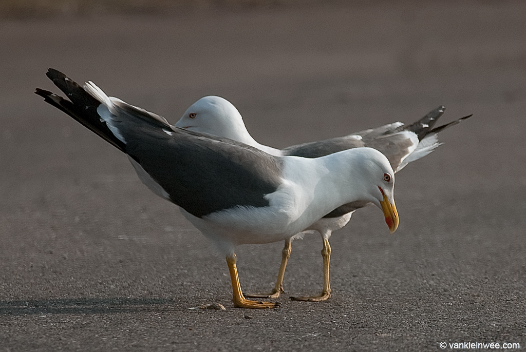 A pair of Lesser Black-backed Gulls choking, aimed at another pair (not in frame). This scene took place just yards from a large gull colony near the port of Rotterdam. April 2011.