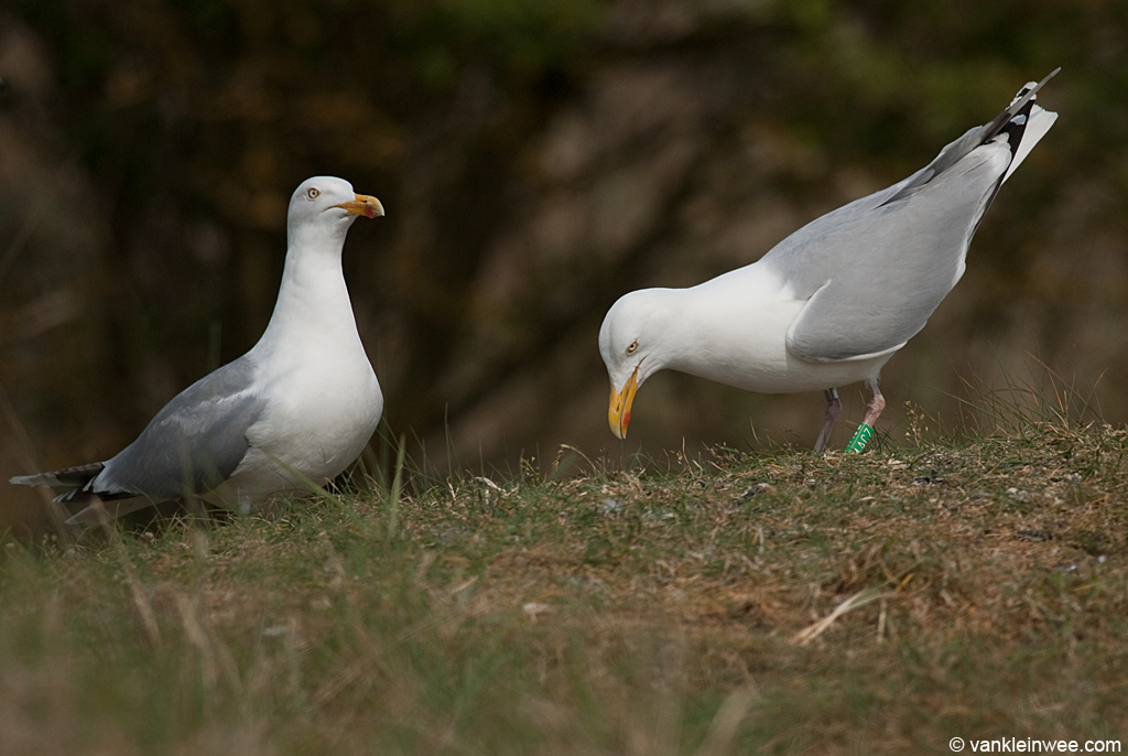 Female European Herring Gull choking next to male partner. Gull colony on the isle of Texel, The Netherlands, May 2011.