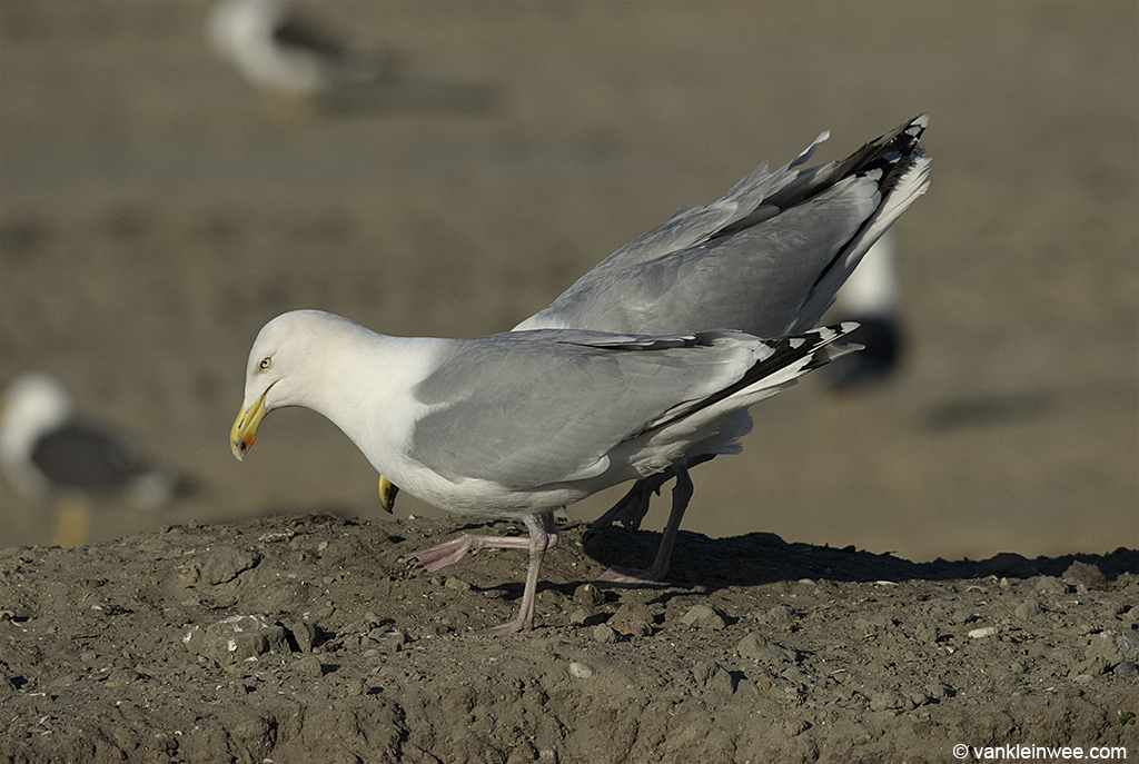 A pair of European Herring Gulls choking in the gull colony. Europoort, Rotterdam, The Netherlands, March 2012.