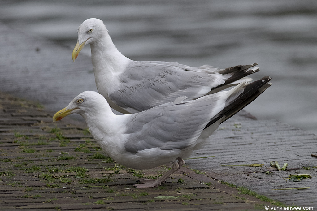 Two adult Herring Gulls displaying aggressive behavior including mew-calling and choking. A little later, the aggressiveness turned into a brief fight. The photos were taken in a city center where gulls commonly breed on flat roofs. Leiden, The Netherlands, August 2012.