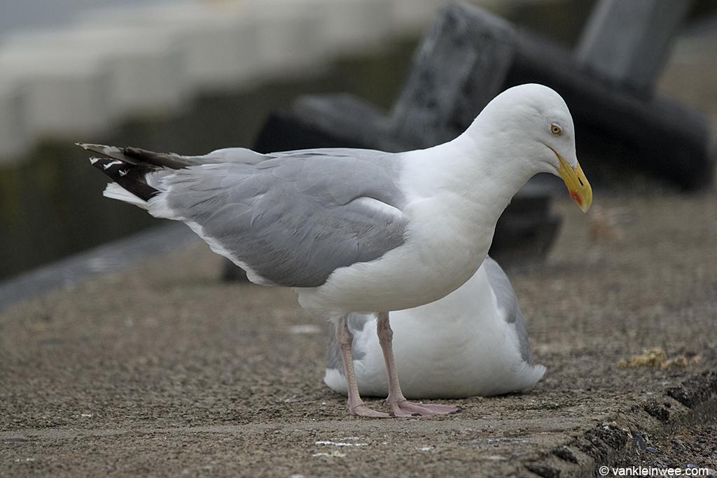 European Herring Gulls choking. Den Helder, The Netherlands, July 2011.