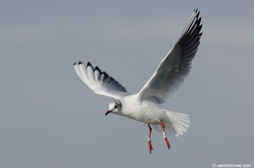 6th-Calendar year Black-headed Gull, ringed as White E5JH June 2010. Zoetermeer 9 February 2013.