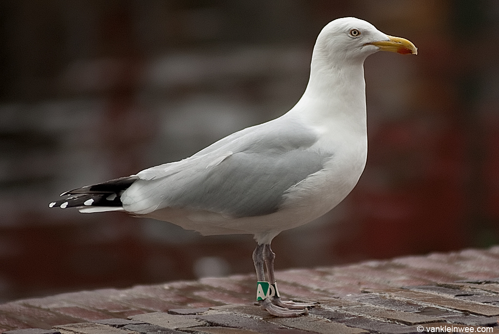 European Herring Gull, ringed as Black D, Green A as a juvenile in 1986. Leiden, The Netherlands, April 2011.