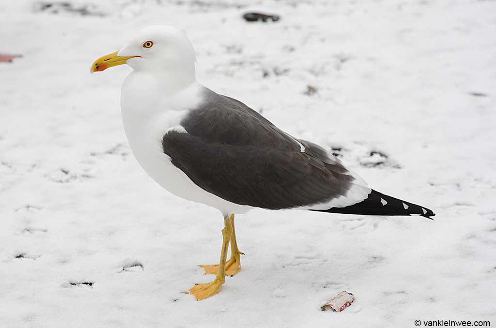 Adult Lesser Black-backed Gull, Leiden, The Netherlands, 24 February 2013.