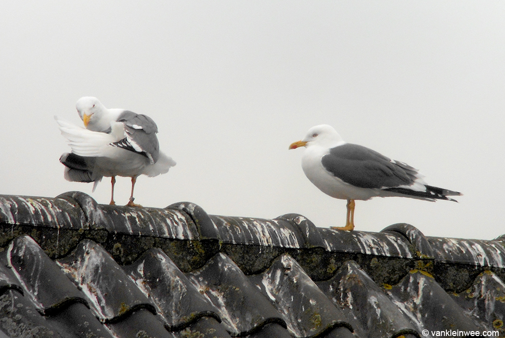 Adult Lesser Black-backed Gull with metal ring London GN64662 (left), together with partner. Leiden, 2 March 2013.