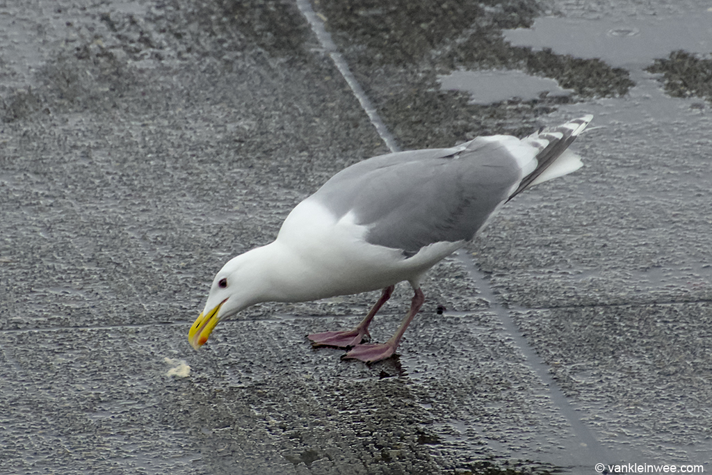 Glaucous-winged Gull (Larus Glaucescens) at Seattle Tacoma airport. 6 April 2013.