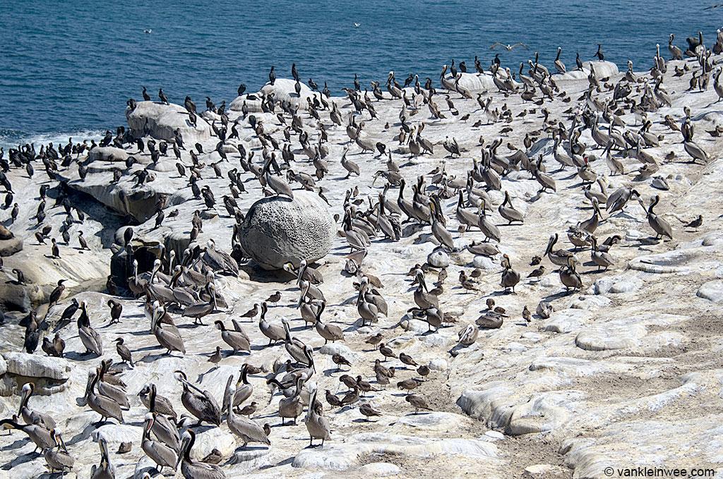La Jolla, San Diego, California, USA, where dozens of second-calendar year Heermann's Gulls were present. 11 April 2013.