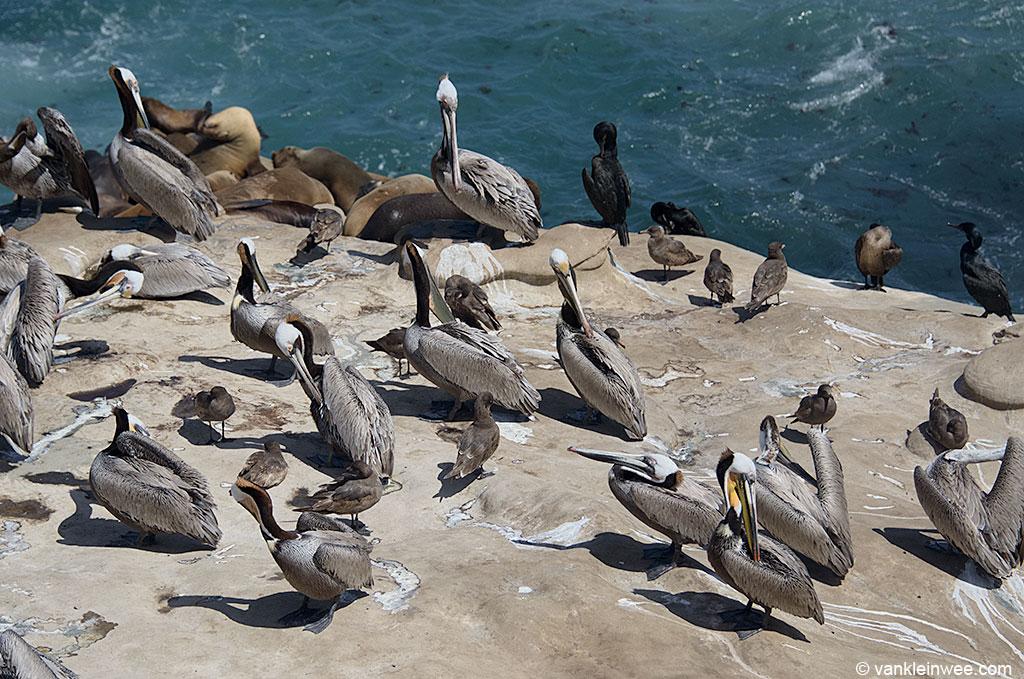 La Jolla, San Diego, USA, where dozens of second-calendar year Heermann's Gulls are present amidst Brown Pelicans and Brandt's Cormorants. 11 April 2013.