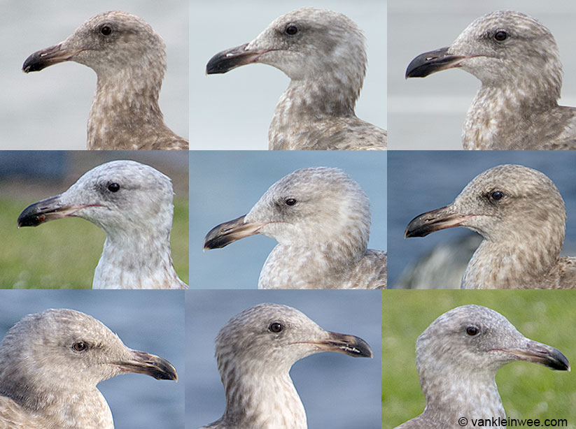 Head pattern diversity of 2nd-calendar year Western Gulls. April 2013, San Diego.