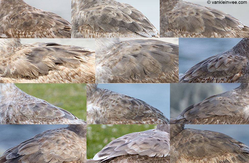 Scapular patterns of second-calendar year Western Gulls shows dark-gray feathers with a  dark shaft. April 2013, San Diego.