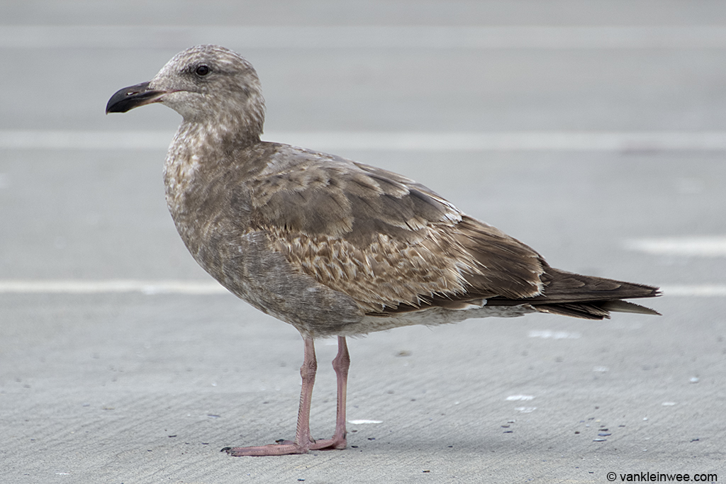 At the darker end of the scale this individual. Second-calendar year Western Gull. San Diego, 7 April 2013.