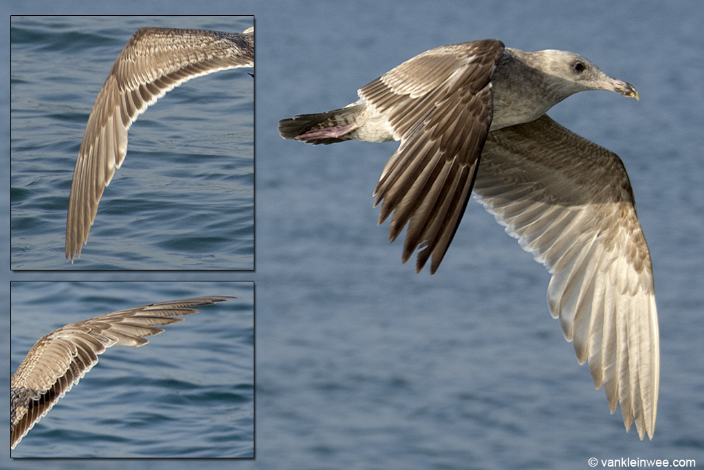 Second-calendar year Western Gull moulting to second-prebasic plumage. A very advanced individual with a pale bill base and yellow in the bill tip. In flight, it showed an uneven moult pattern in the inner primaries: in the left wing, P1 and P2 had been dropped with P3 - P10 present while in the right wing the new P1 and P2 were already clearly visible, with P3 missing and the remaining primaries present. San Diego, USA, 9 April 2013.